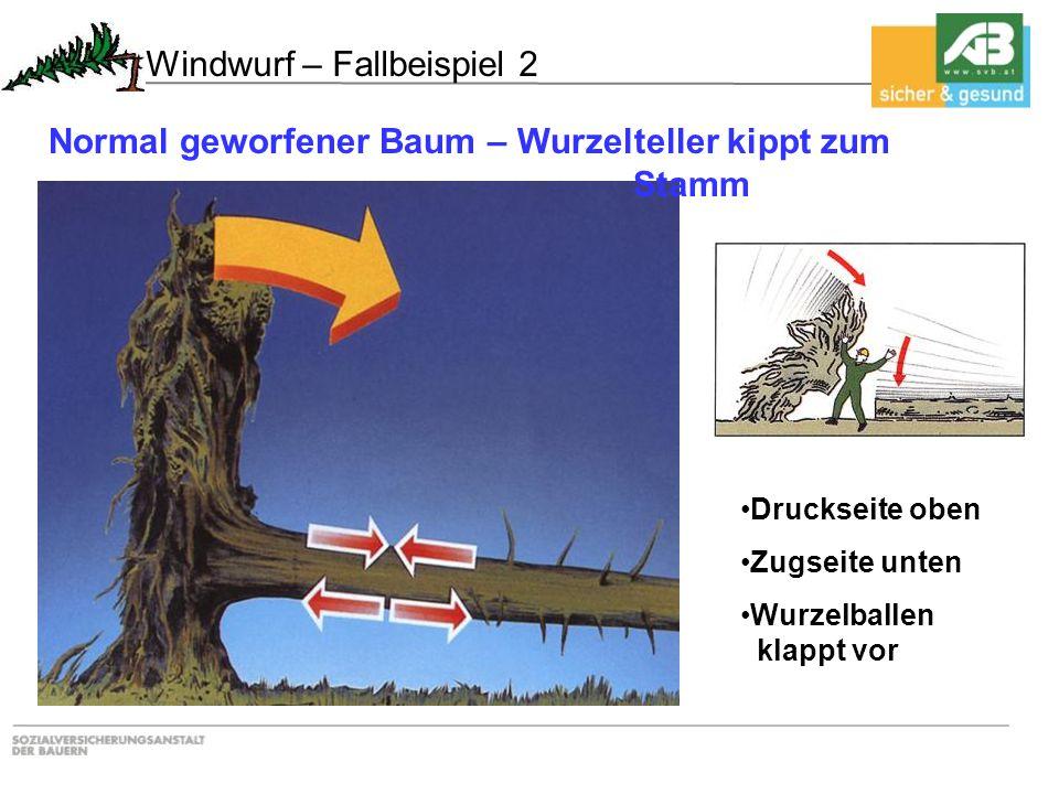 Druckseite oben Zugseite unten Wurzelballen klappt vor Normal geworfener Baum – Wurzelteller kippt zum Stamm Windwurf – Fallbeispiel 2