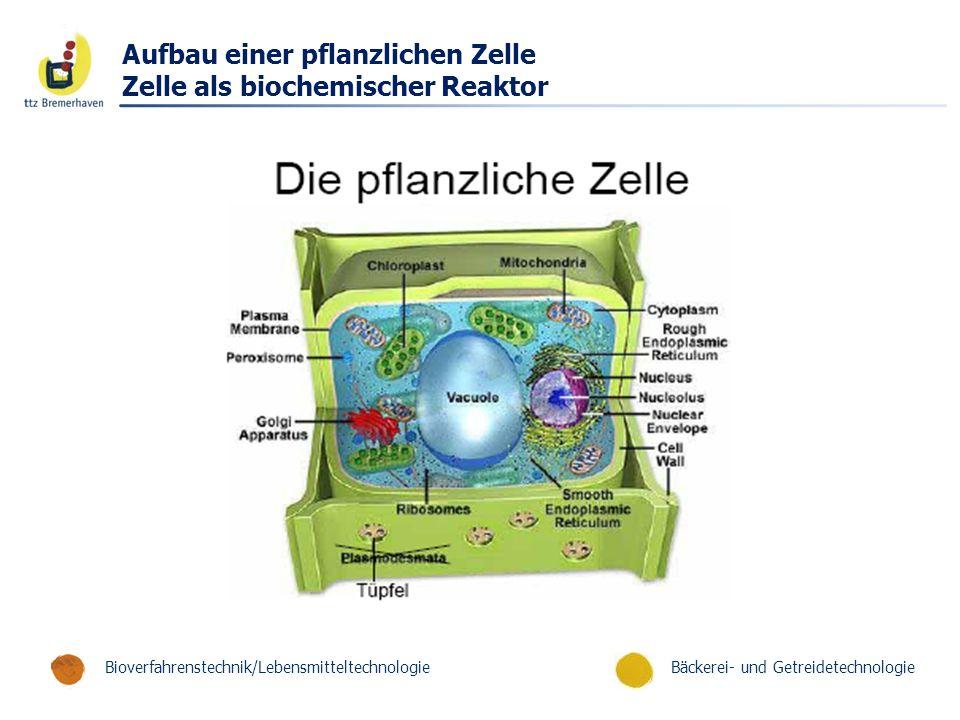 Bäckerei- und GetreidetechnologieBioverfahrenstechnik/Lebensmitteltechnologie Aufbau einer pflanzlichen Zelle Zelle als biochemischer Reaktor