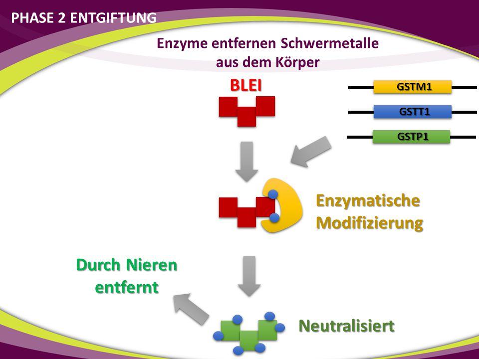PHASE 2 ENTGIFTUNG Enzyme entfernen Schwermetalle aus dem Körper BLEI Enzymatische Modifizierung Neutralisiert GSTM1 GSTT1 GSTP1 Durch Nieren entfernt