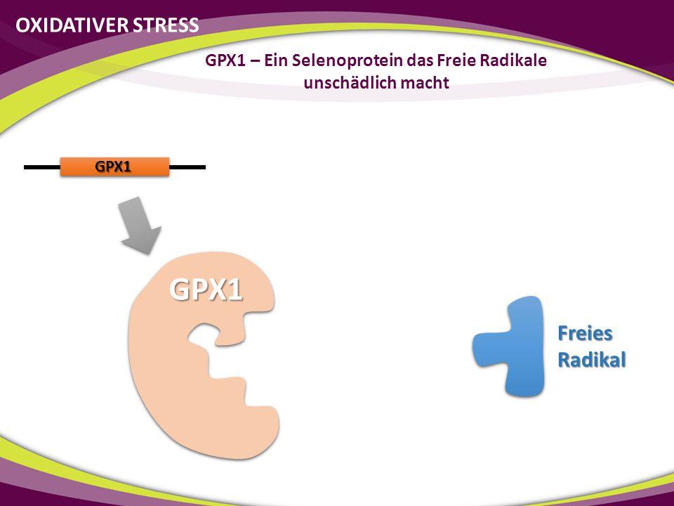 OXIDATIVER STRESS GPX1 – Ein Selenoprotein das Freie Radikale unschädlich macht GPX1 GPX1 Freies Radikal