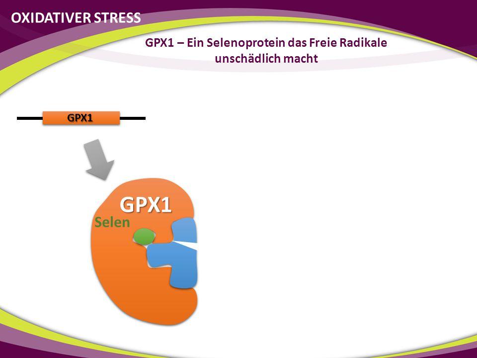 GPX1 GPX1 Neutralisiert OXIDATIVER STRESS GPX1 – Ein Selenoprotein das Freie Radikale unschädlich macht Selen