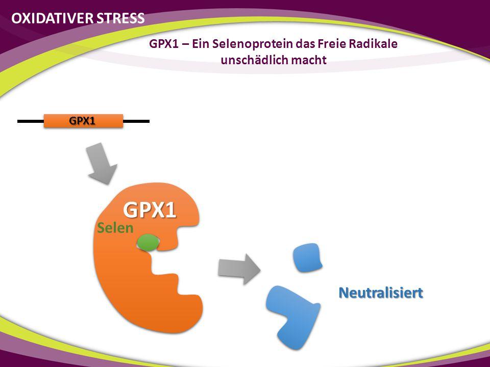 Selenmangel 30% Aktivität OXIDATIVER STRESS GPX1 – Ein Selenoprotein das Freie Radikale unschädlich macht