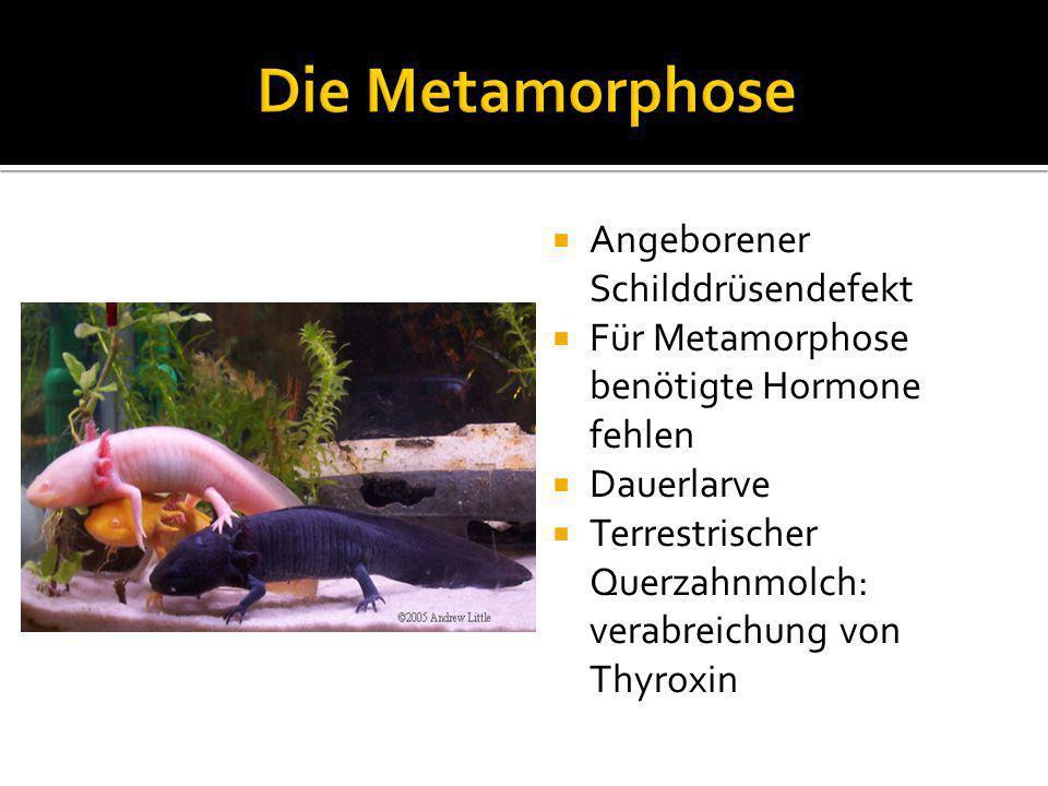  Angeborener Schilddrüsendefekt  Für Metamorphose benötigte Hormone fehlen  Dauerlarve  Terrestrischer Querzahnmolch: verabreichung von Thyroxin