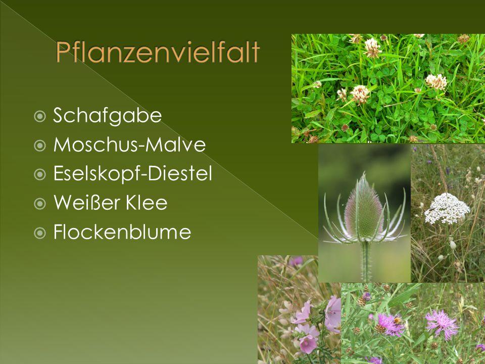  Schafgabe  Moschus-Malve  Eselskopf-Diestel  Weißer Klee  Flockenblume