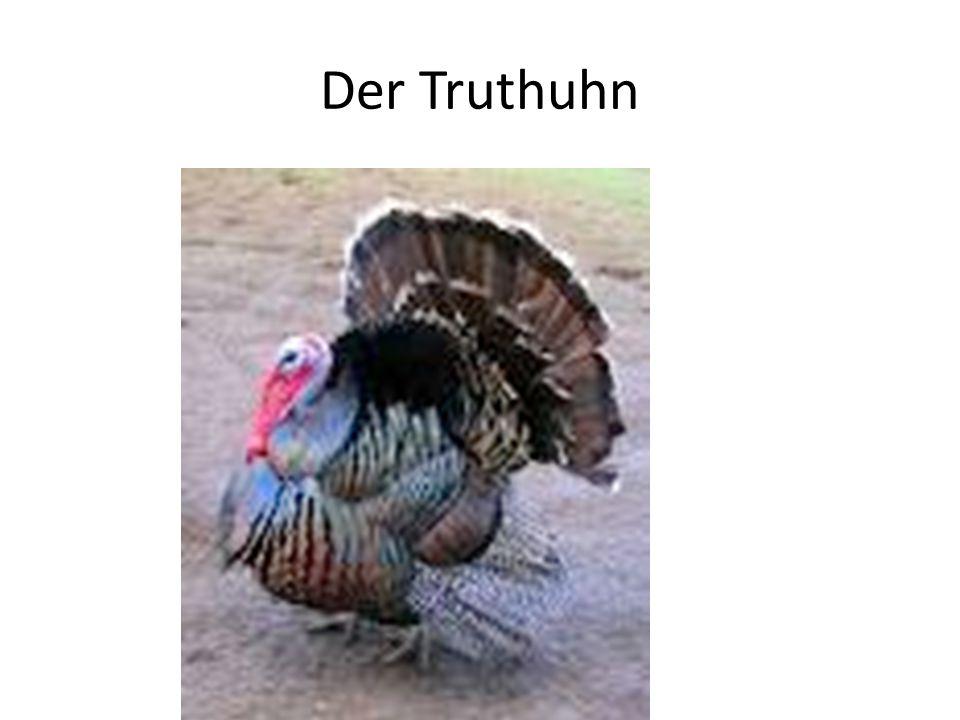 Der Truthuhn