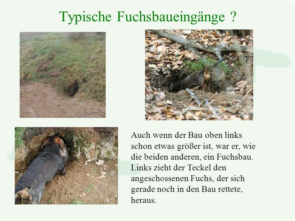 Typische Fuchsbaueingänge .