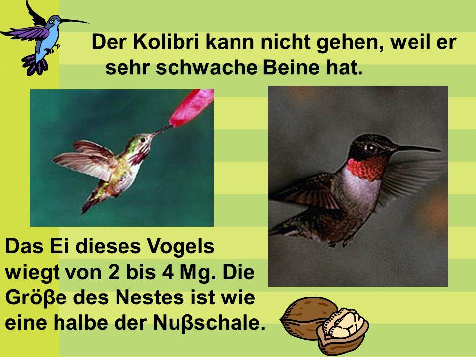 Der Kolibri kann nicht gehen, weil er sehr schwache Beine hat. Das Ei dieses Vogels wiegt von 2 bis 4 Mg. Die Gröβe des Nestes ist wie eine halbe der
