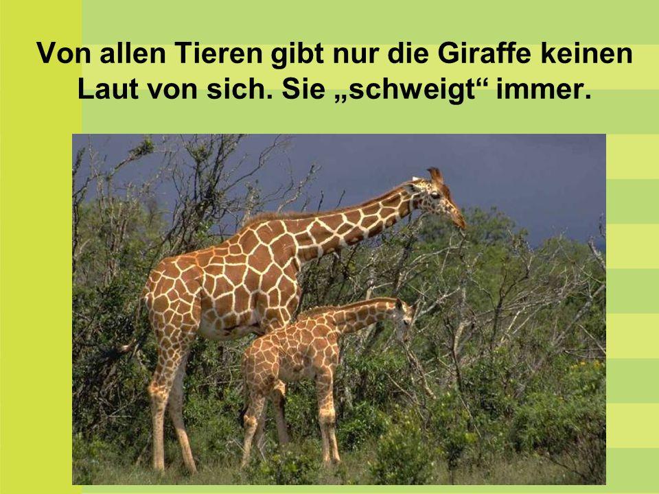 """Von allen Tieren gibt nur die Giraffe keinen Laut von sich. Sie """"schweigt"""" immer."""