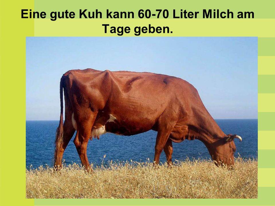 Eine gute Kuh kann 60-70 Liter Milch am Tage geben.