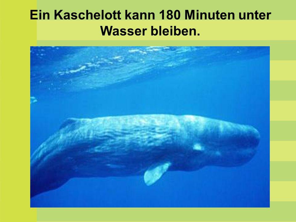 Ein Kaschelott kann 180 Minuten unter Wasser bleiben.