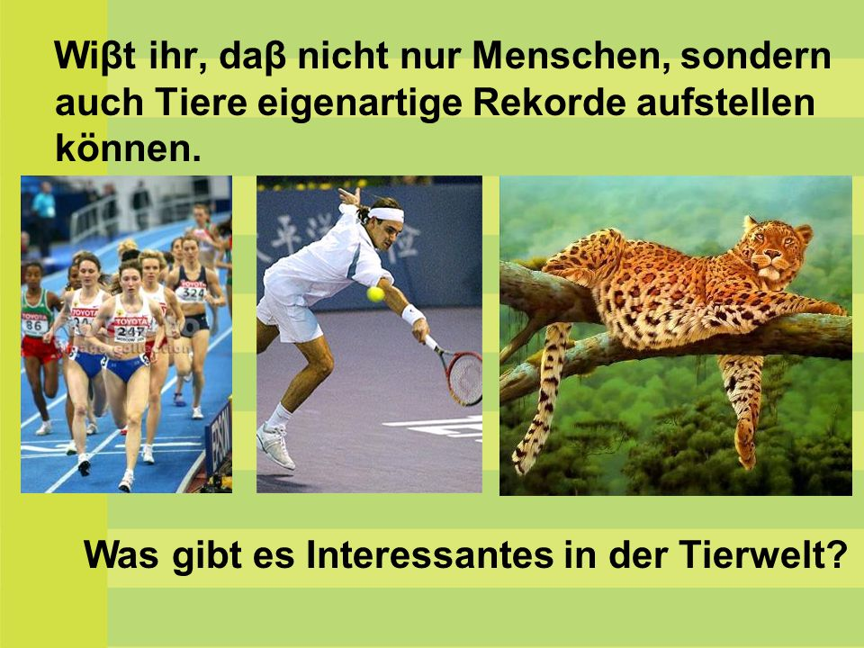 Der Gepard kann 120 Kilometer in der Stunde laufen, er ist der beste Laufer in der Raubtierwelt.