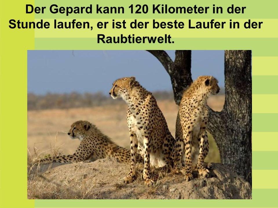 Ein Strauβ kann über 100 Kilometer in der Stunde laufen.