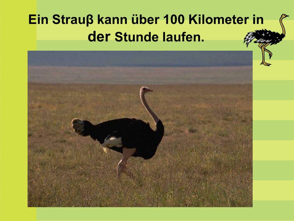 Der Gaur ist eine wild lebende Rinderart.Dieses Tier brüllt am lautesten.