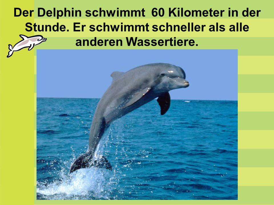 Der Delphin schwimmt 60 Kilometer in der Stunde. Er schwimmt schneller als alle anderen Wassertiere.