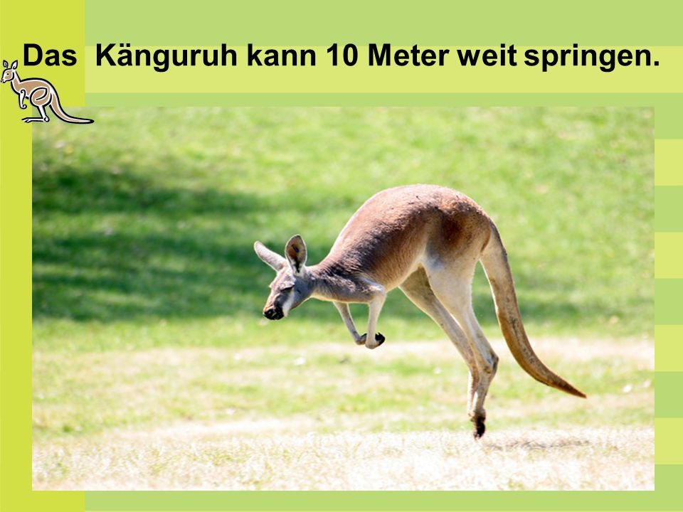 Das Känguruh kann 10 Meter weit springen.