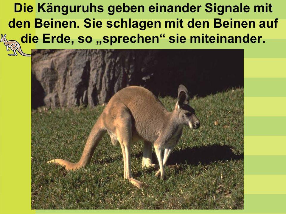 """Die Känguruhs geben einander Signale mit den Beinen. Sie schlagen mit den Beinen auf die Erde, so """"sprechen"""" sie miteinander."""