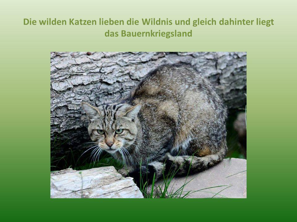 Die wilden Katzen lieben die Wildnis und gleich dahinter liegt das Bauernkriegsland