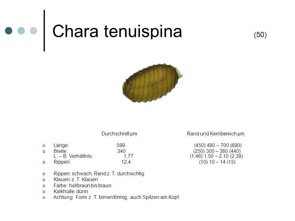 Chara tenuispina (50) Durchschnitt µm Rand und Kernbereich µm Länge: 599 (450) 480 – 700 (690) Breite: 340 (250) 300 – 380 (440) L. – B. Verhältnis: 1
