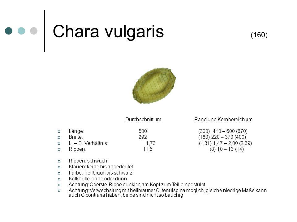 Chara vulgaris (160) Durchschnitt µm Rand und Kernbereich µm Länge: 500 (300) 410 – 600 (670) Breite: 292 (180) 220 – 370 (400) L. – B. Verhältnis: 1,