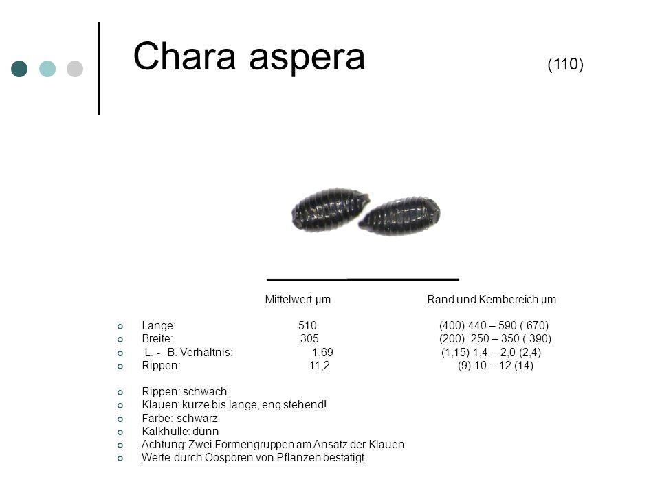 Chara aspera (110) Mittelwert µm Rand und Kernbereich µm Länge: 510 (400) 440 – 590 ( 670) Breite: 305 (200) 250 – 350 ( 390) L. - B. Verhältnis: 1,69