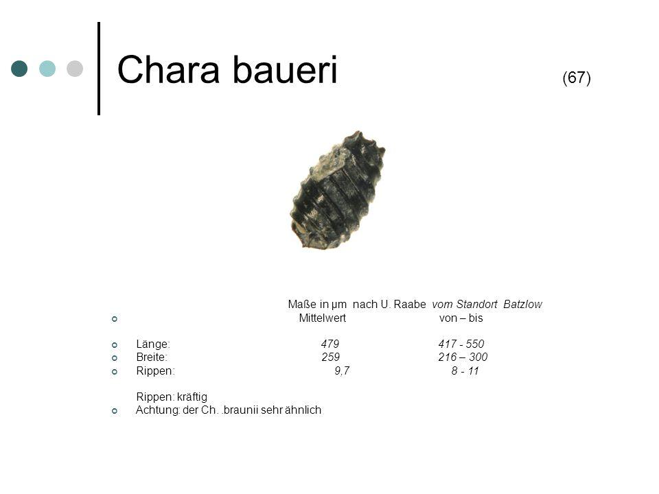 Chara baueri (67) Maße in µm nach U. Raabe vom Standort Batzlow Mittelwert von – bis Länge: 479 417 - 550 Breite: 259 216 – 300 Rippen: 9,7 8 - 11 Rip