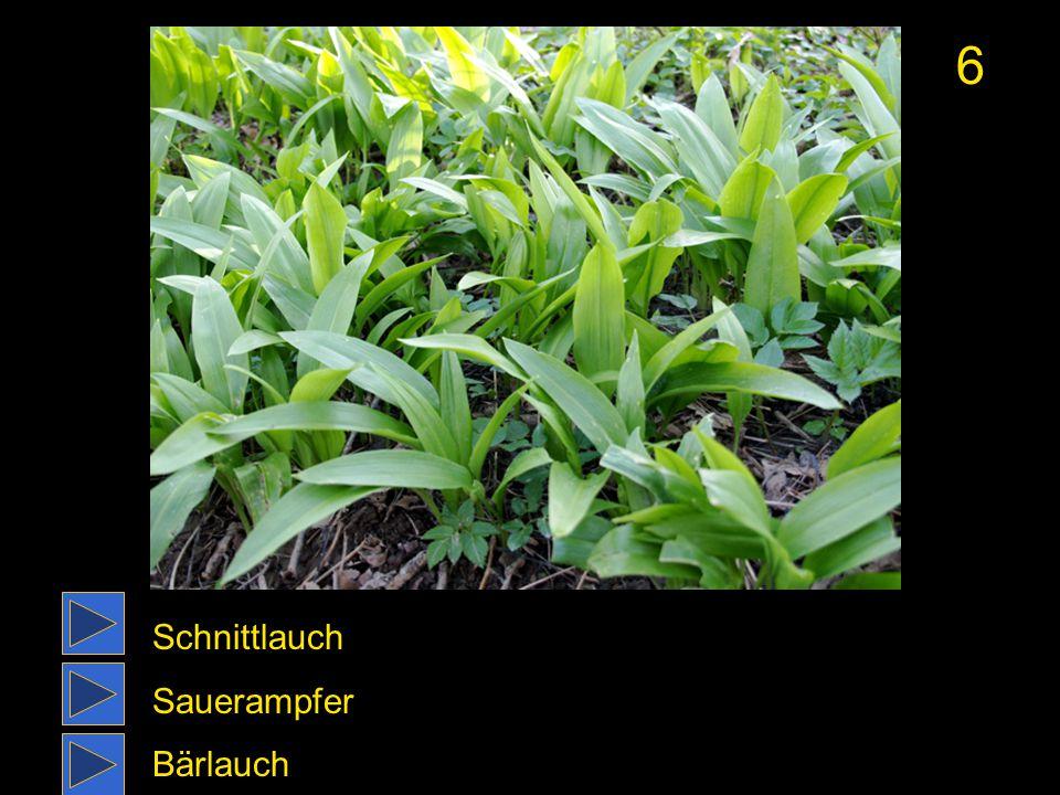 6 Schnittlauch Sauerampfer Bärlauch