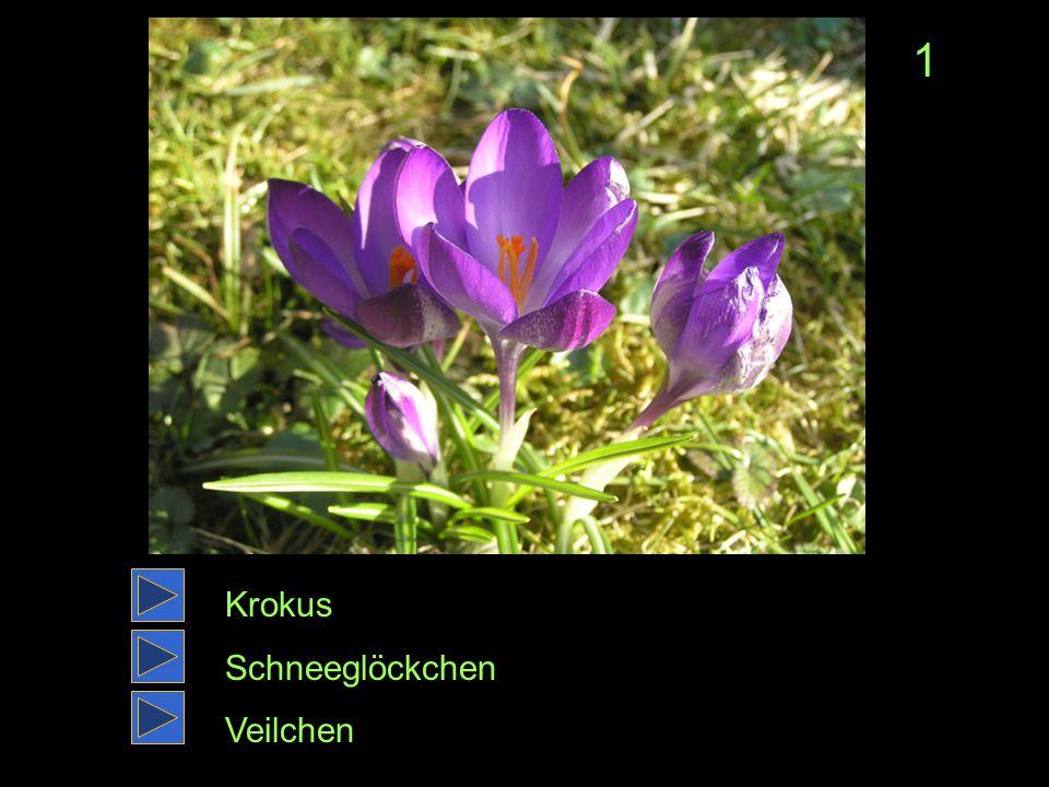 Krokus Schneeglöckchen Veilchen 1