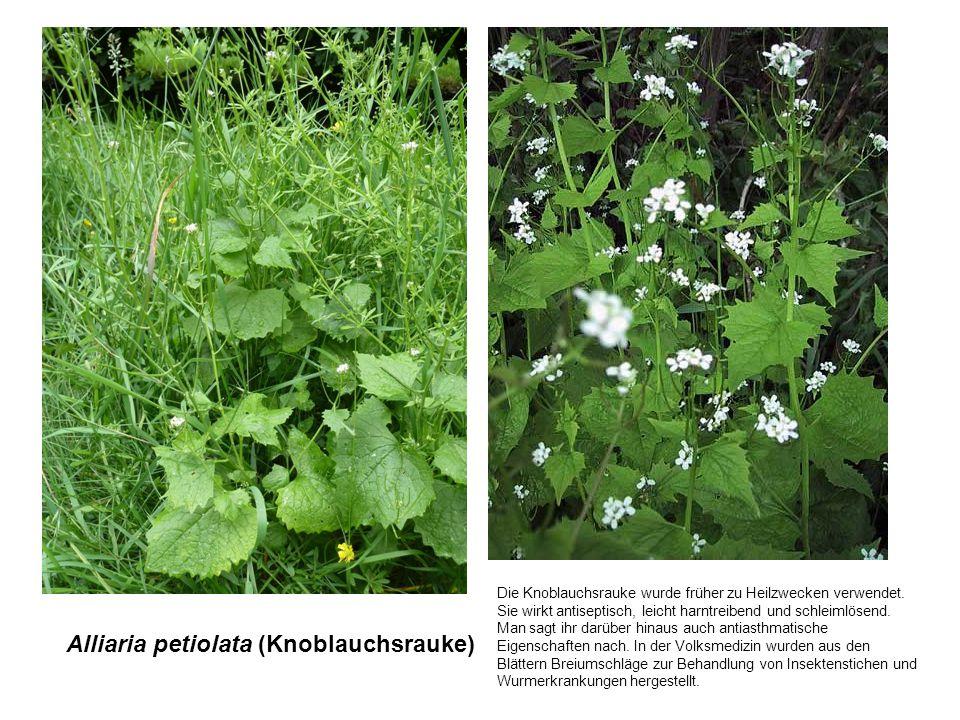 Alliaria petiolata (Knoblauchsrauke) Die Knoblauchsrauke wurde früher zu Heilzwecken verwendet. Sie wirkt antiseptisch, leicht harntreibend und schlei