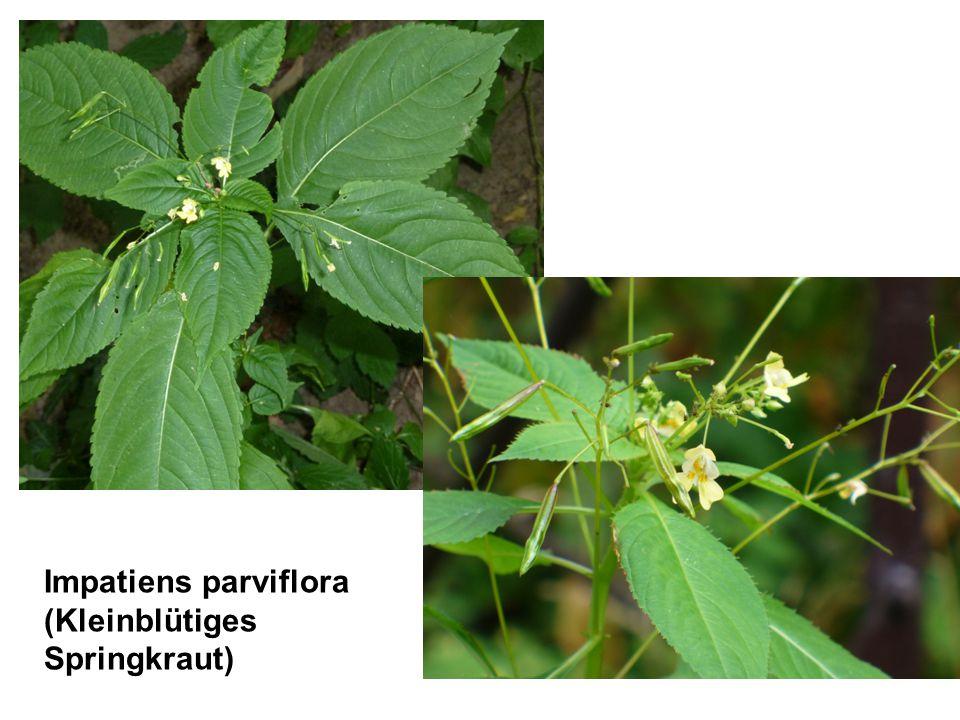 Impatiens parviflora (Kleinblütiges Springkraut)
