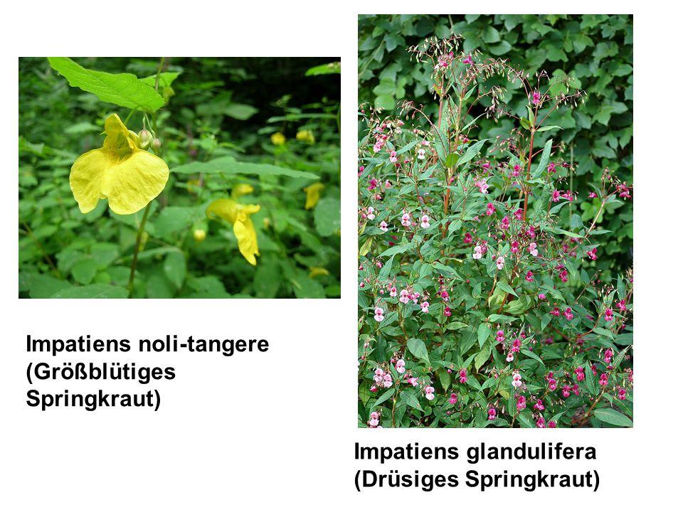 Impatiens noli-tangere (Größblütiges Springkraut) Impatiens glandulifera (Drüsiges Springkraut)
