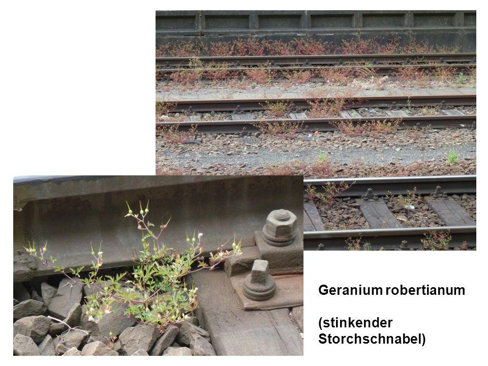 Geranium robertianum (stinkender Storchschnabel)