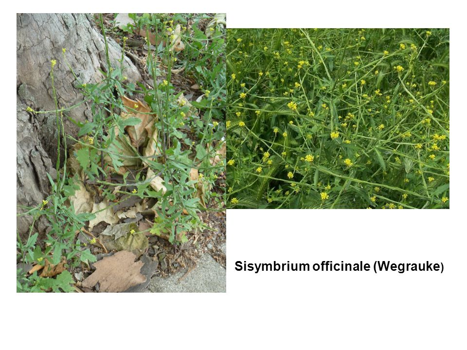 Sisymbrium officinale (Wegrauke )