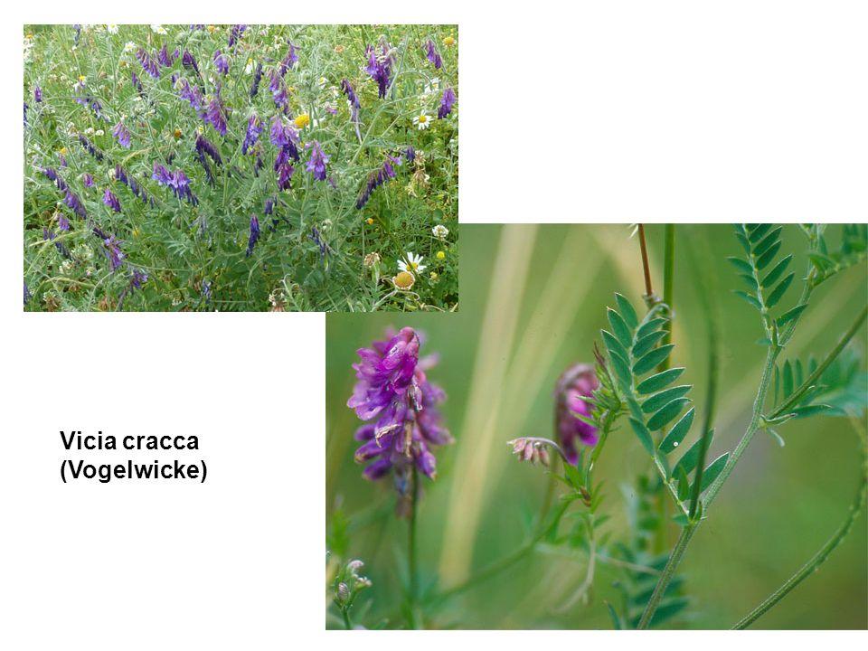 Vicia cracca (Vogelwicke)