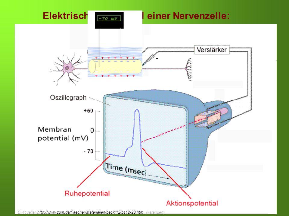 Erstellt von Braun, Kunnert, Pichler Elektrisches Potenzial einer Nervenzelle: Bildquelle: http://www.zum.de/Faecher/Materialien/beck/12/bs12-28.htm/ veränderthttp://www.zum.de/Faecher/Materialien/beck/12/bs12-28.htm/ Bildquelle: http://www.zum.de/Faecher/Materialien/beck/12/bs12-28.htm (verändert)http://www.zum.de/Faecher/Materialien/beck/12/bs12-28.htm