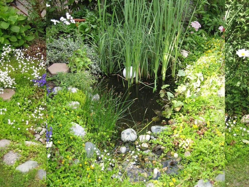 Die Sumpfdotterblume trägt satt gelbe Blüten mit 5 Blütenblättern.