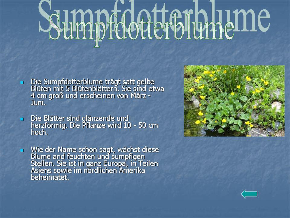 Die Sumpfdotterblume trägt satt gelbe Blüten mit 5 Blütenblättern. Sie sind etwa 4 cm groß und erscheinen von März - Juni. Die Sumpfdotterblume trägt