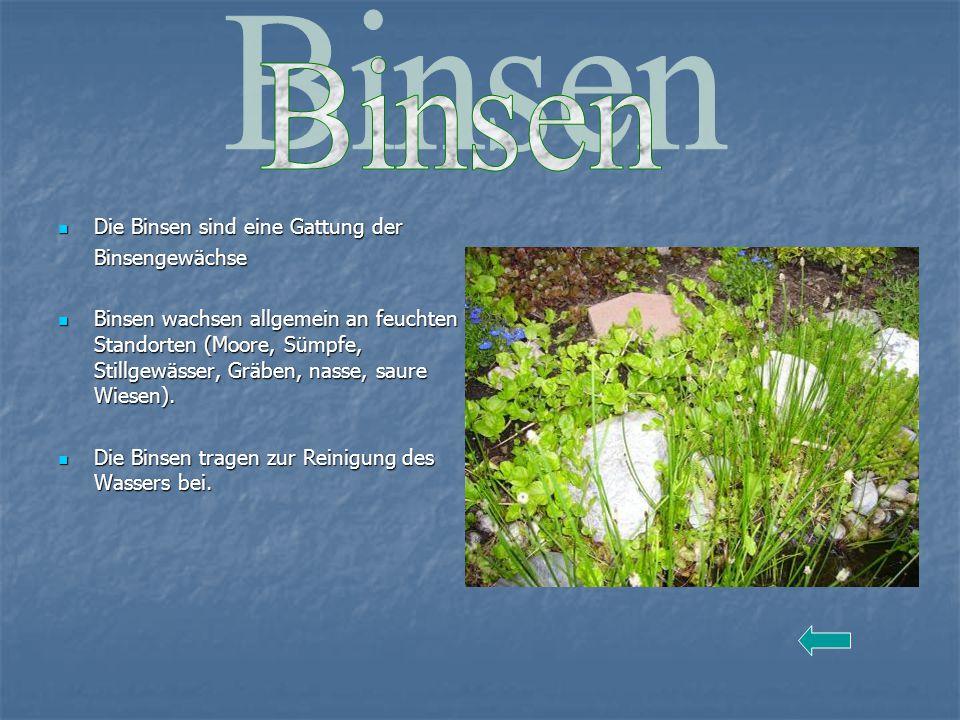 Die Binsen sind eine Gattung der Die Binsen sind eine Gattung derBinsengewächse Binsen wachsen allgemein an feuchten Standorten (Moore, Sümpfe, Stillg