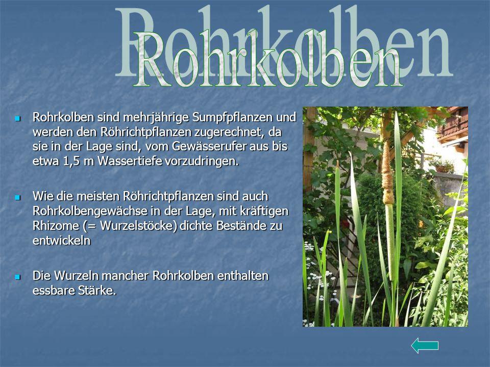 Rohrkolben sind mehrjährige Sumpfpflanzen und werden den Röhrichtpflanzen zugerechnet, da sie in der Lage sind, vom Gewässerufer aus bis etwa 1,5 m Wa