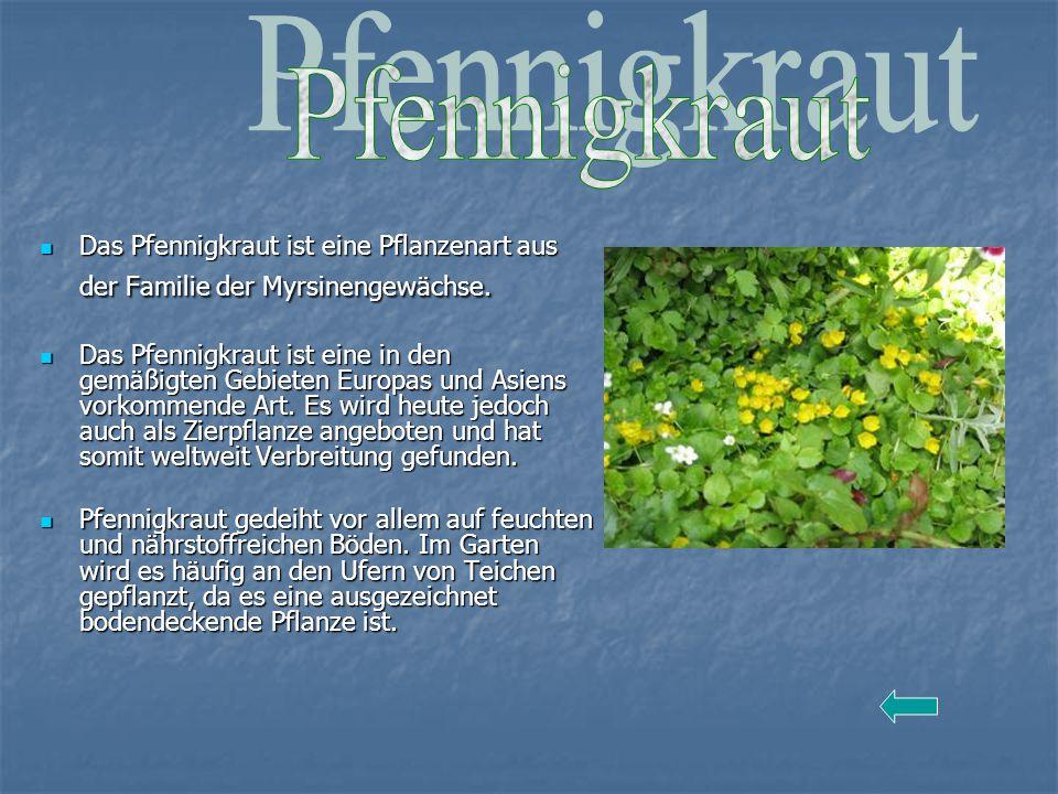 Das Pfennigkraut ist eine Pflanzenart aus der Familie der Myrsinengewächse. Das Pfennigkraut ist eine Pflanzenart aus der Familie der Myrsinengewächse