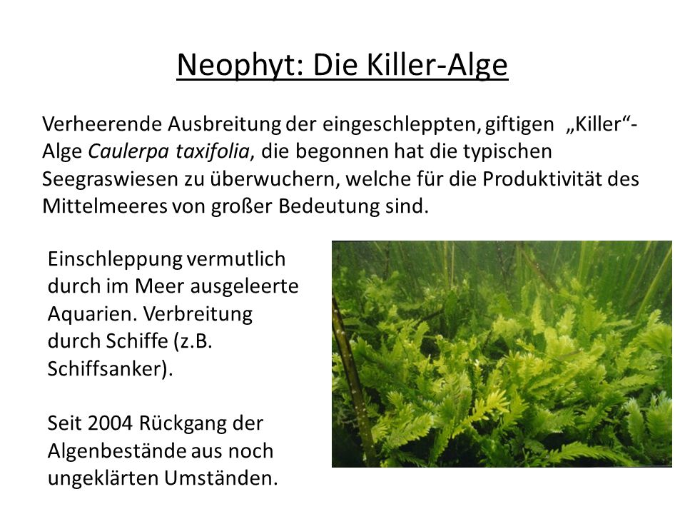 """Verheerende Ausbreitung der eingeschleppten, giftigen """"Killer - Alge Caulerpa taxifolia, die begonnen hat die typischen Seegraswiesen zu überwuchern, welche für die Produktivität des Mittelmeeres von großer Bedeutung sind."""