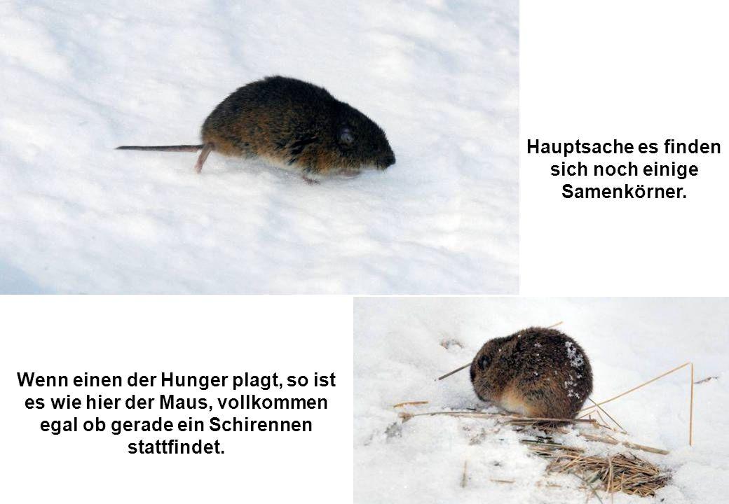 Wenn einen der Hunger plagt, so ist es wie hier der Maus, vollkommen egal ob gerade ein Schirennen stattfindet.
