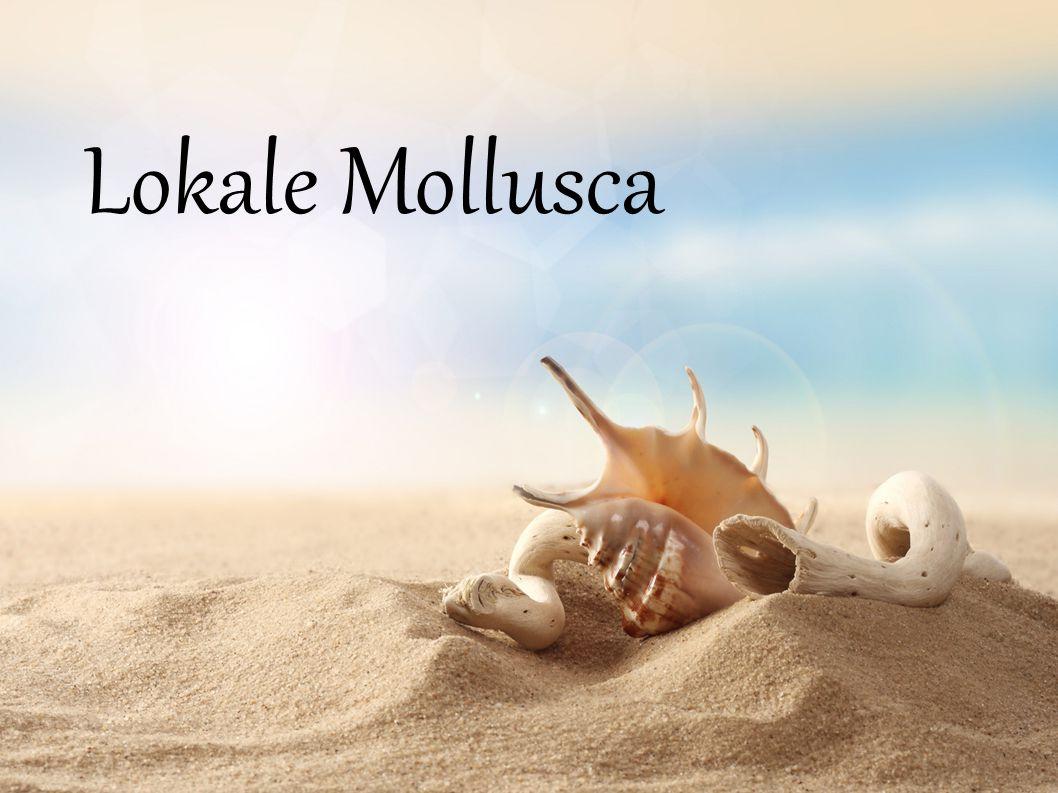 Gastropoda (Schnecken) Bivalvia (Muscheln) Cephalopoda (Kopffüßer)