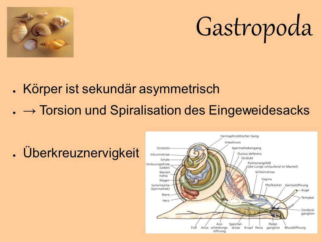 Gastropoda Bolinus brandaris ● Seltene, endemische Art ● Kriecht auf dem Sandboden zwischen dem Seegras ● Bis max.