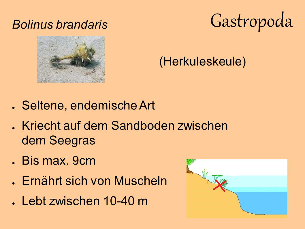 Bivalvia Glycymeris glycymeris ● Häufige Spezies ● Meist im Sandboden vergraben ● Ernährt sich von Plankton ● Bis 8cm ● Zwischen 0-100 m Meermandel / gemeine Samtmuschel