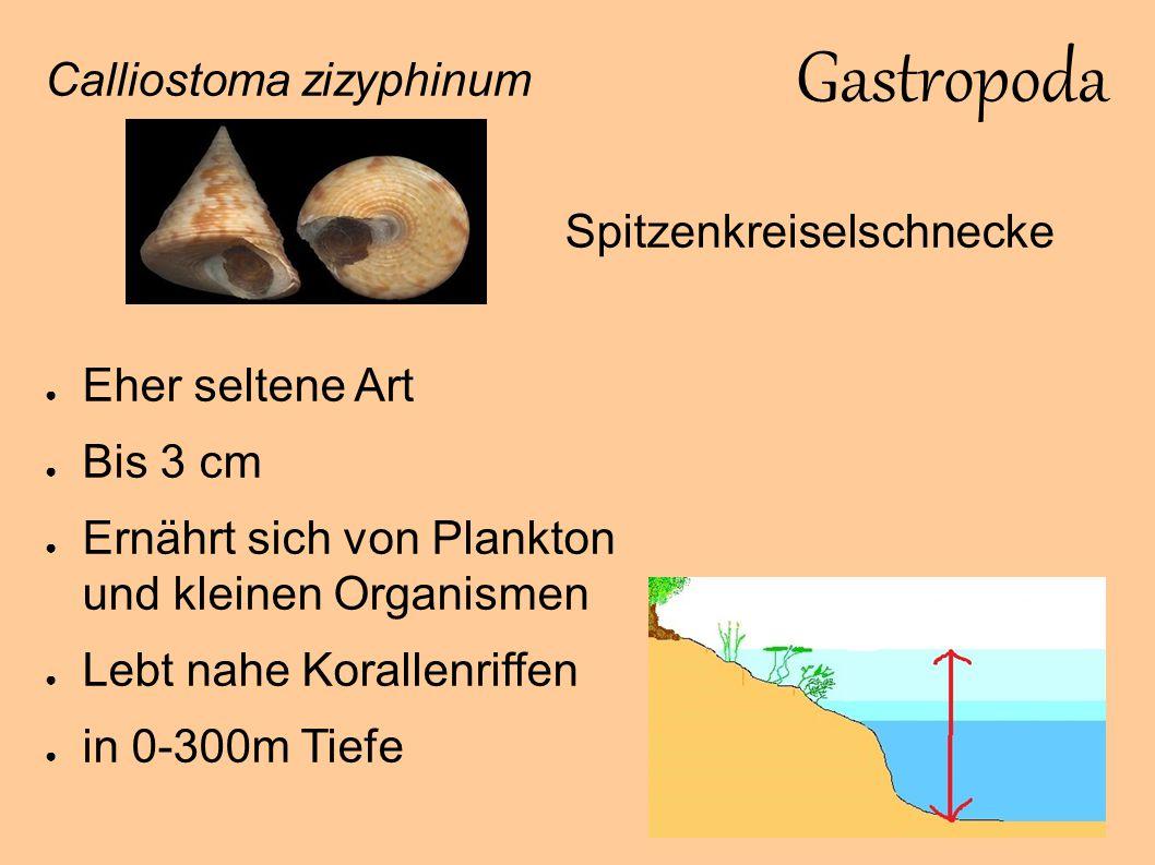 Gastropoda Chromodoris luteorosea ● Sehr seltene Art ● Lebt in Riffnähe ● Ernährt sich von Schwämmen ● Zwittrig ● Bis 5 cm ● Zwischen 5-60 m Lilagelbgefleckte Doris