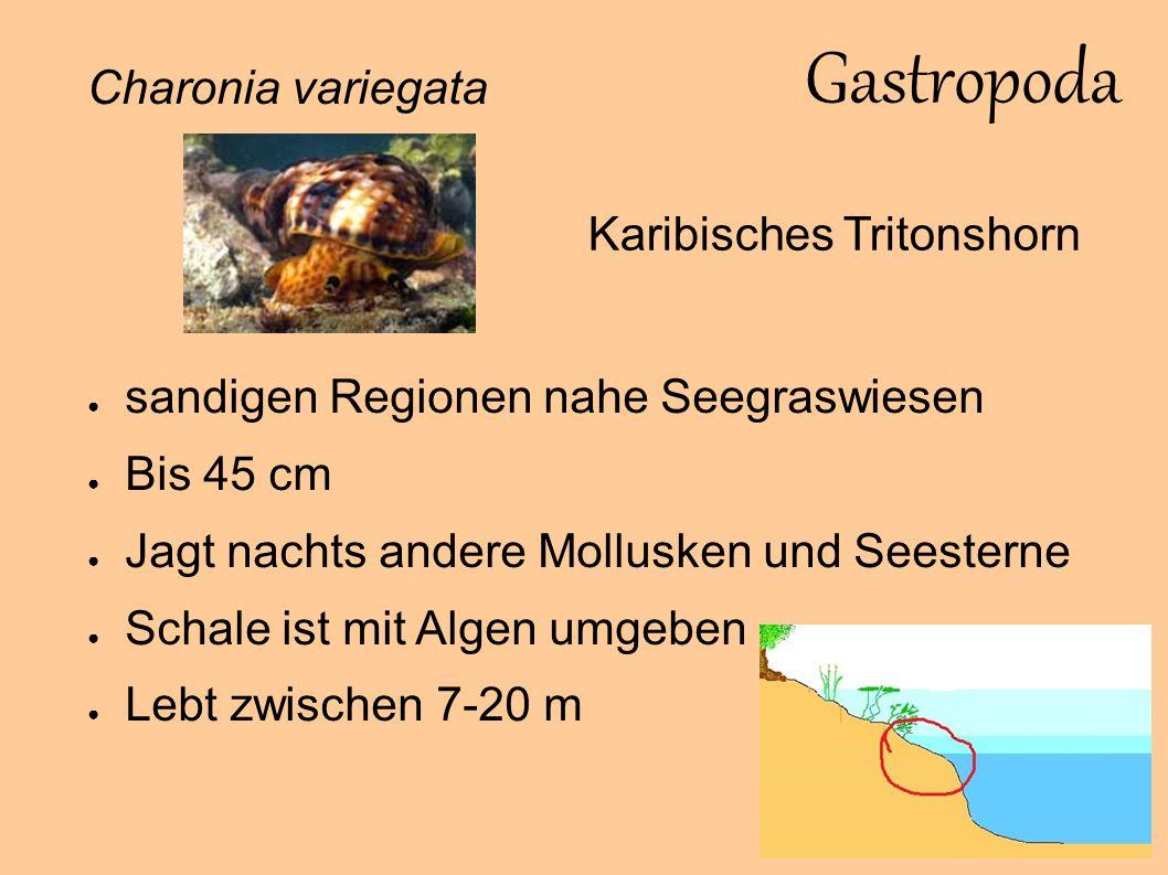 Gastropoda Hypselodoris picta ● Seltene Art ● Lebt in Riffnähe ● Zwittrig ● Ernährt sich von Schwämmen ● Bis 20 cm ● Zwischen 1-60 m Sternschnecke