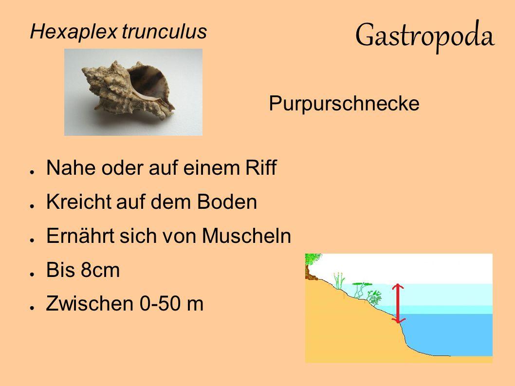 Bivalvia Pecten jacobeus ● Seltene Art ● Lebt auf dem Sandboden ● Bewegt sich schwimmend fort ● Ernährt sich von Plankton ● Bis 15 cm ● Zwischen 10-200 m Mittelmeer-Jakobsmuschel
