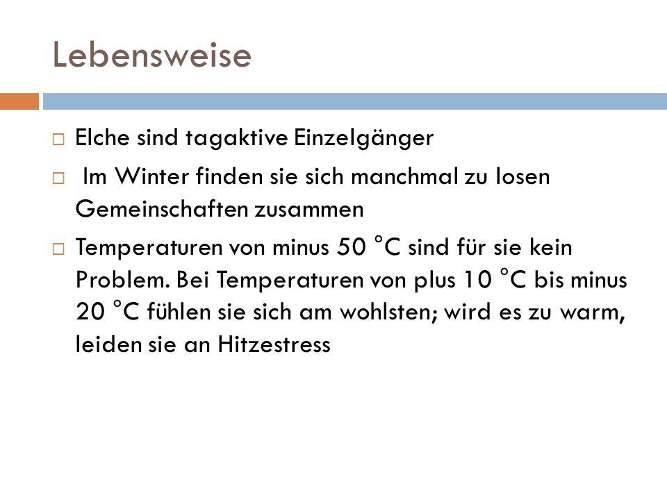 Lebensweise  Elche sind tagaktive Einzelgänger  Im Winter finden sie sich manchmal zu losen Gemeinschaften zusammen  Temperaturen von minus 50 °C s