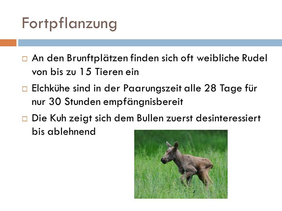 Fortpflanzung  An den Brunftplätzen finden sich oft weibliche Rudel von bis zu 15 Tieren ein  Elchkühe sind in der Paarungszeit alle 28 Tage für nur
