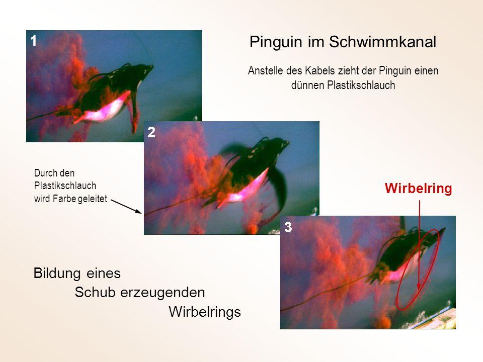 Bildung eines Schub erzeugenden Wirbelrings Wirbelring 1 2 3 Pinguin im Schwimmkanal Durch den Plastikschlauch wird Farbe geleitet Anstelle des Kabels